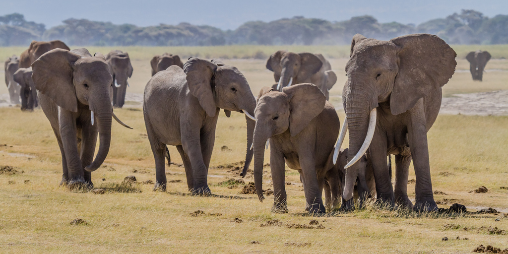"""""""Elephants Amboseli"""" by blieusong is licensed under CC BY-SA 2.0"""