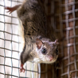 A flying squirrel crawling on a wire fence