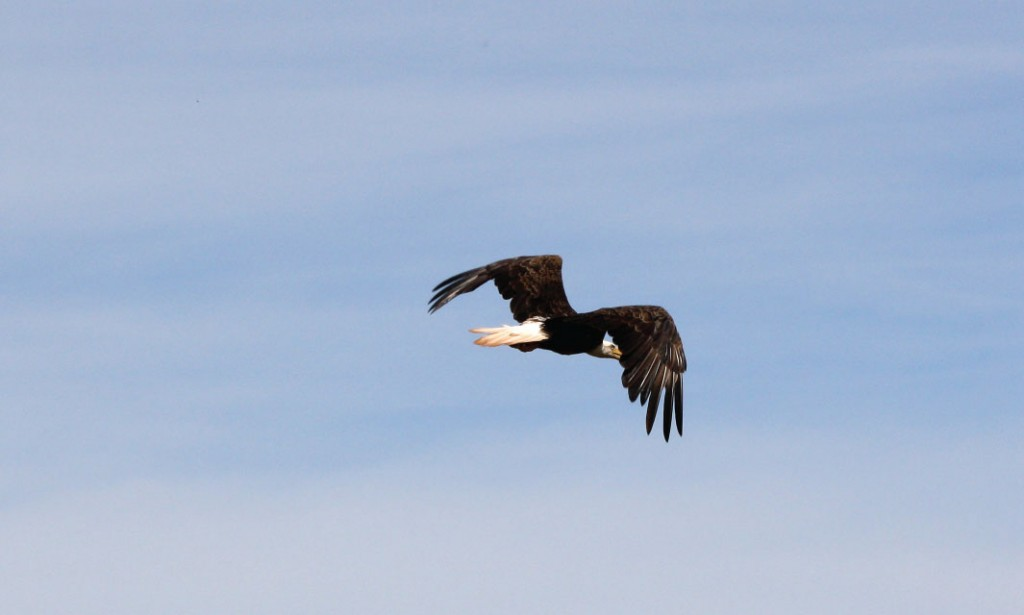 A bald eagle soars over the Upper St. John River region of New Brunswick.