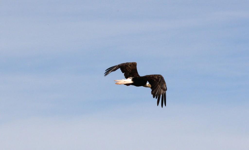 Un aigle à tête blanche survole la partie supérieure du fleuve Saint-Jean au Nouveau-Brunswick.