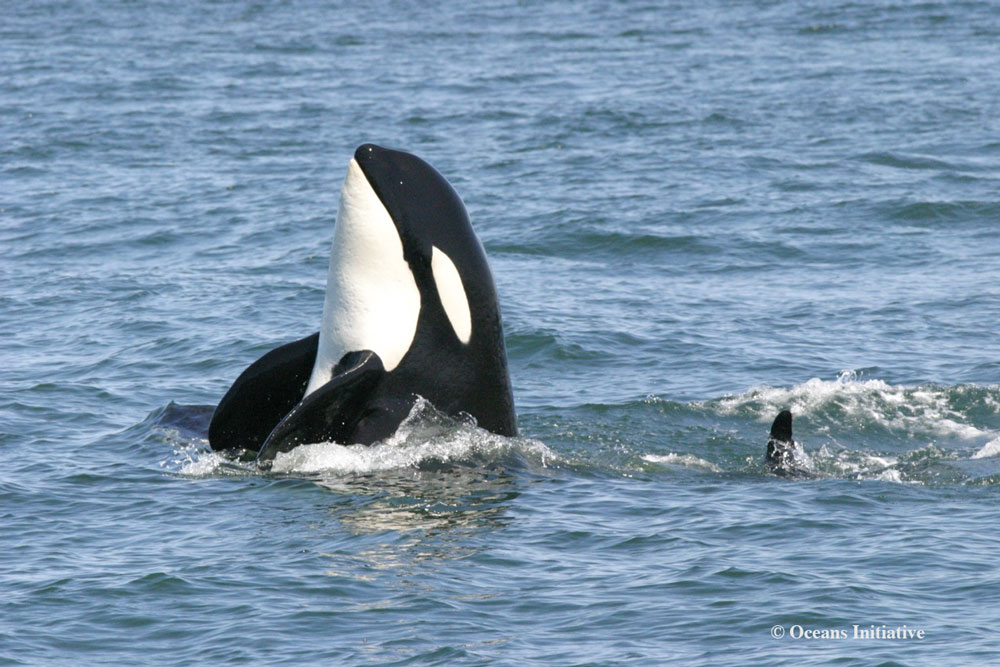 killer-whale-spyhop