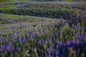 A field of purple flowers and greenery and a deer in the distance