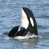 Oceans Research and Conservation Association - ORCA